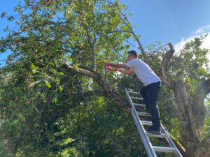 Mustafa kerää omenoita